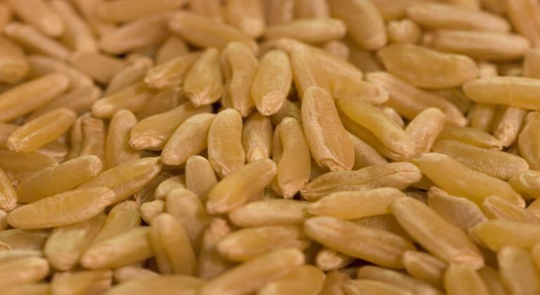 grano khorasan kamut proprietà utilizzi